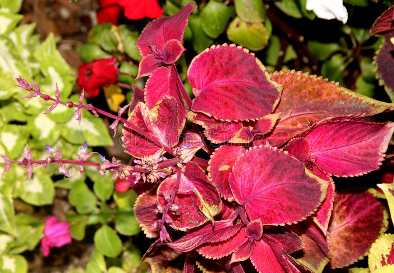 Plectranthus scutellarioides ` Ciemnopąsowy Złocisty ` obrazy royalty free