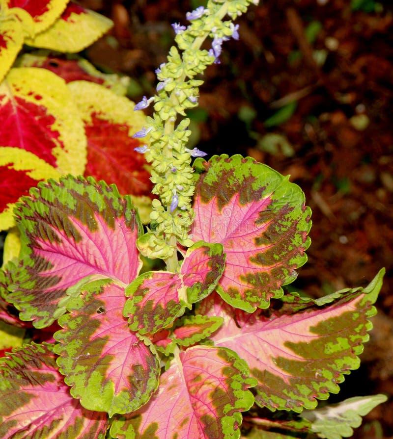 Plectranthus scutellarioides ` Kong mozaiki `, syn: Solenostemon scutellarioides, Coleus blumei zdjęcia stock