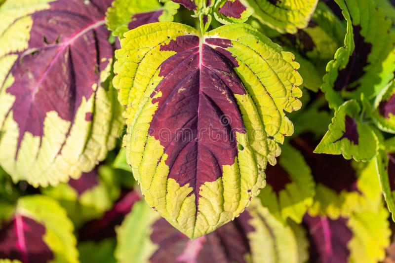 Plectranthus scutellarioides kwiat obrazy royalty free