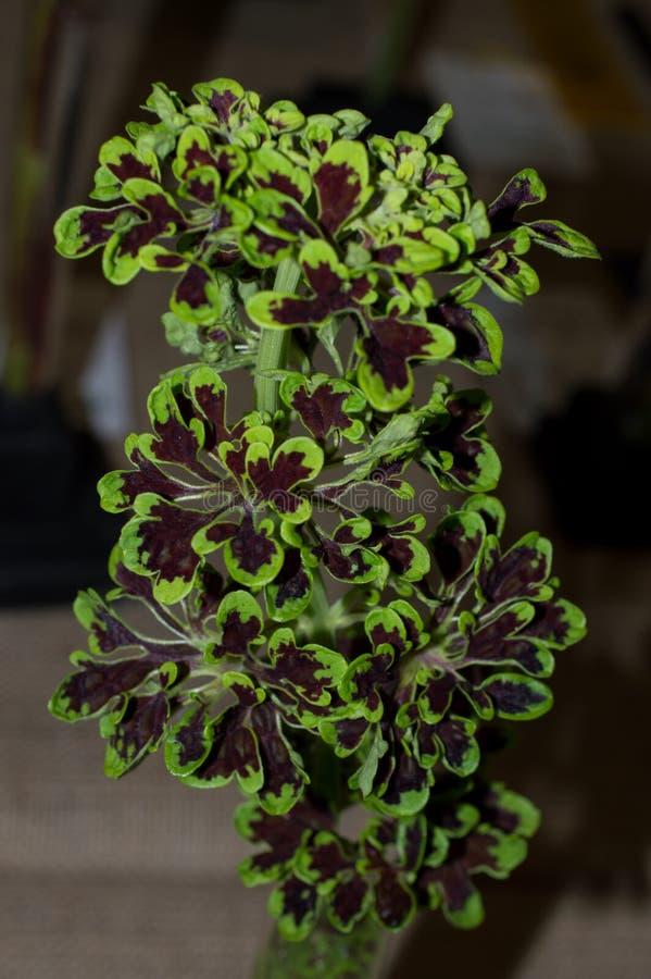 Plectranthus-scutellarioides ungewöhnliches SP lizenzfreies stockbild