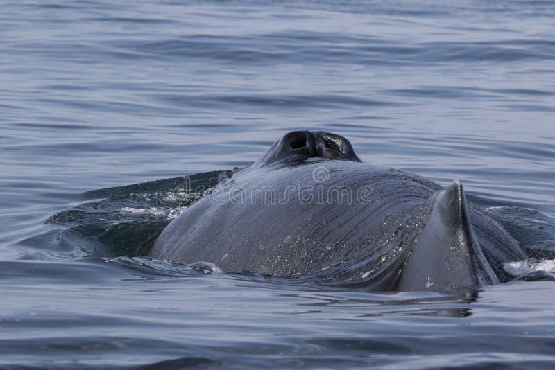 Plecy i blowhole humpback wieloryba letni dzień obraz royalty free