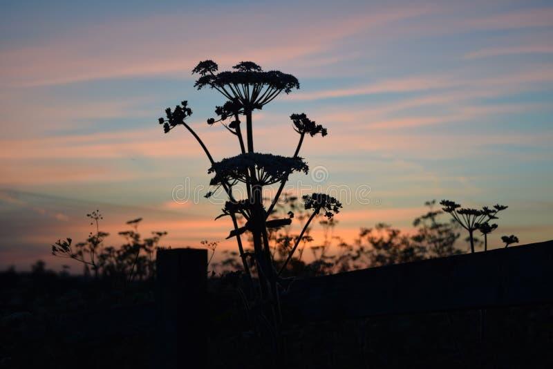 Plecy Zaświecający Cowparsley fotografia stock