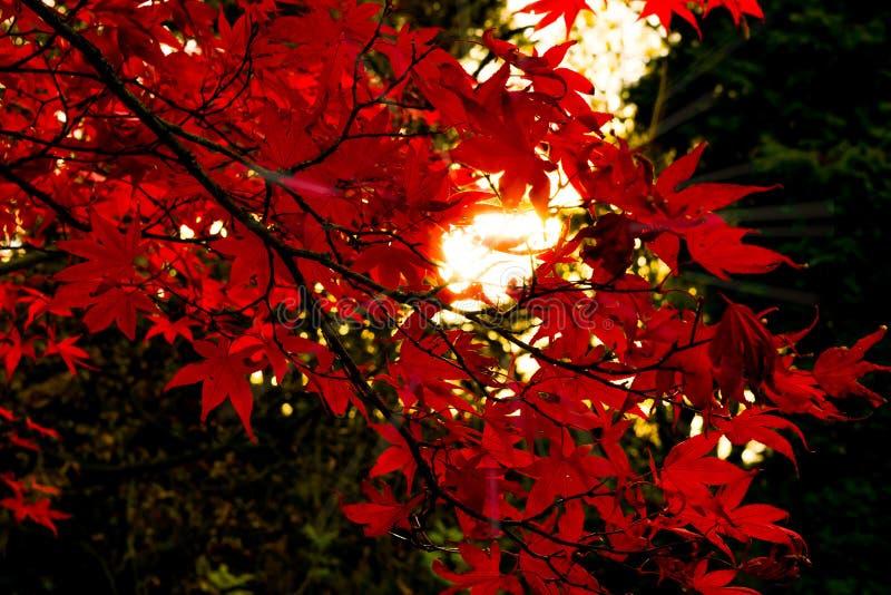 Plecy zaświecający czerwień liście obrazy royalty free