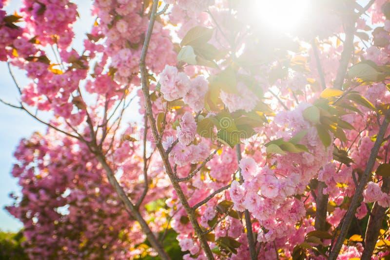 Plein arbre de magnolia en fleur sur le coucher du soleil image libre de droits