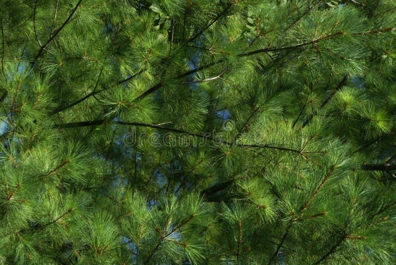 Plein cadre à feuilles persistantes photo libre de droits