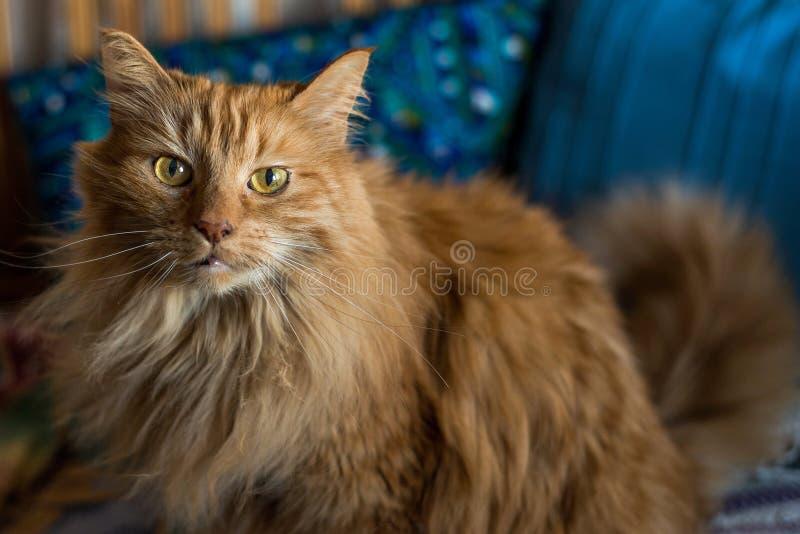 Plein foyer de chat norvégien de forêt sur vous image stock