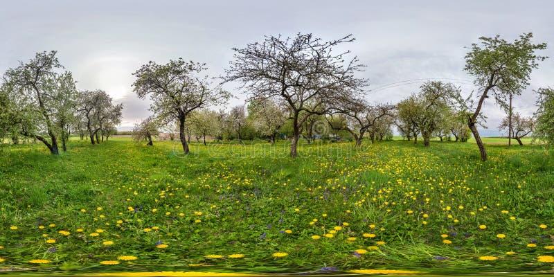 Plein panorama sphérique sans couture 360 degrés de vue d'angle dans le verger de floraison de jardin de pomme avec des pissenlit photo libre de droits