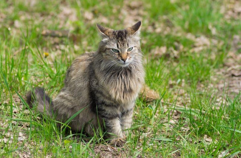 Plein portrait de corps de chat aux cheveux longs photos stock