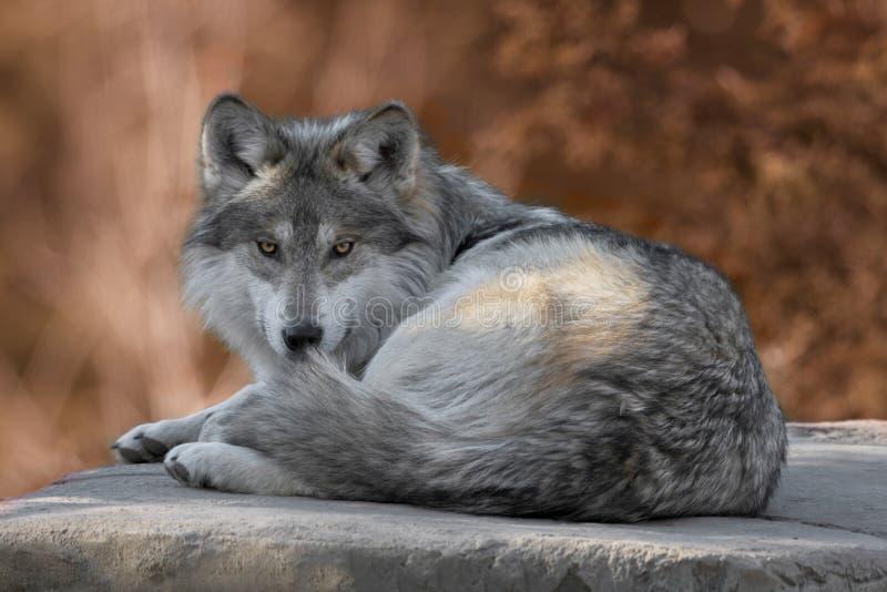 Plein portrait mexicain de corps de loup gris photo libre de droits