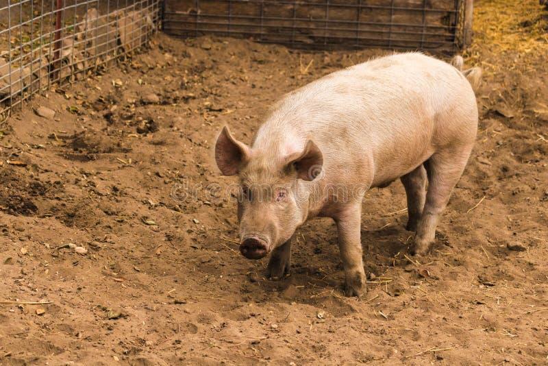 Plein tir de corps jeune de porc debout rose domestique sale simple effrayé, attentif, prudent, avec les pieds boueux, grandes or photo libre de droits