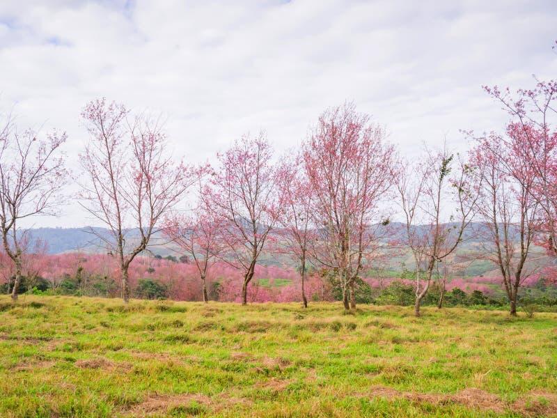 Pleine floraison d'arbre thaïlandais de fleurs de cerisier photos libres de droits