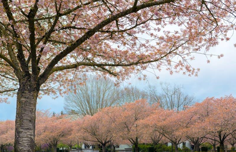 Pleine floraison de Cherry Blossom Trees en Salem Oregon photographie stock libre de droits