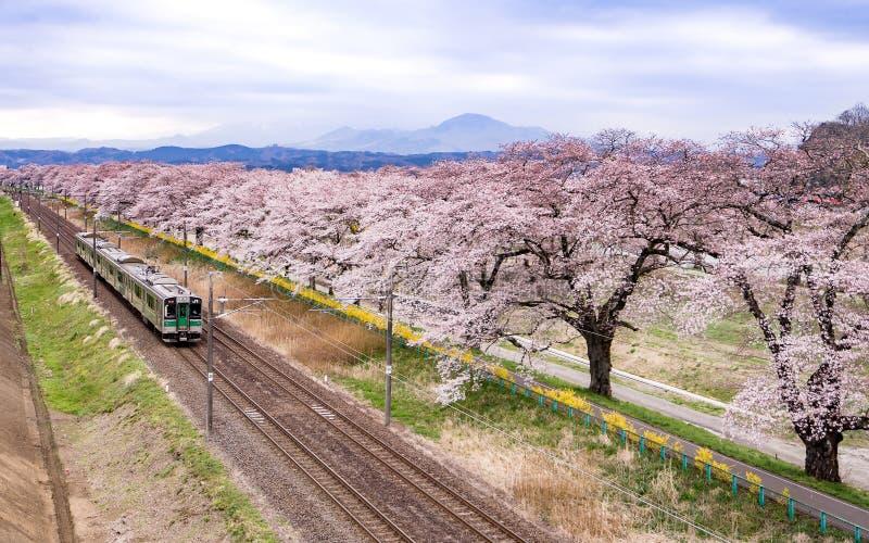 Pleine floraison de Sakura image stock