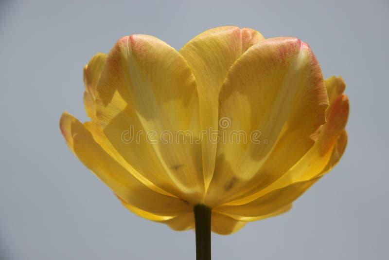 Pleine floraison une Tulip With Murky Gray Sky jaune-orange photo libre de droits