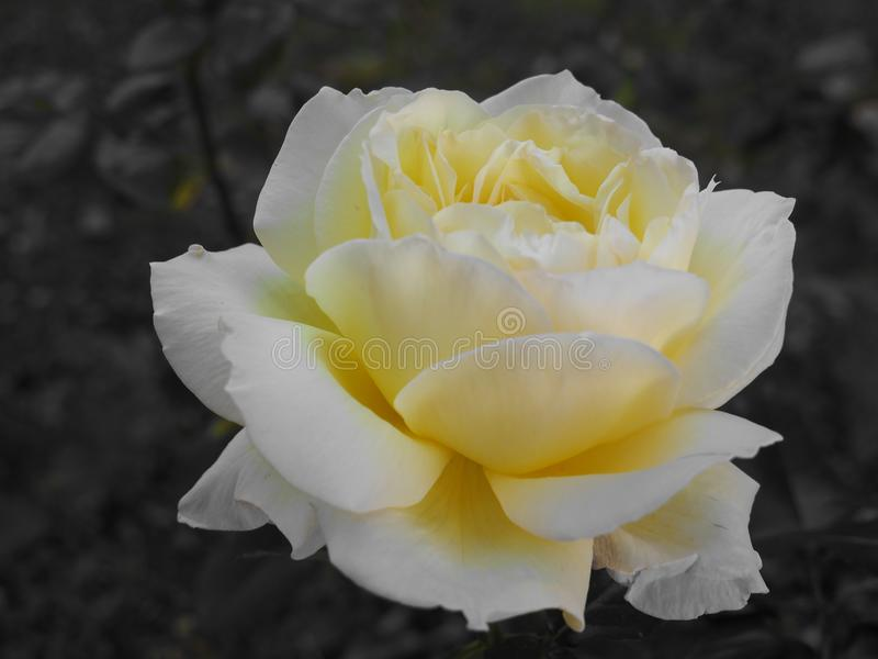 Pleine rose de jaune dans le jardin foncé image stock