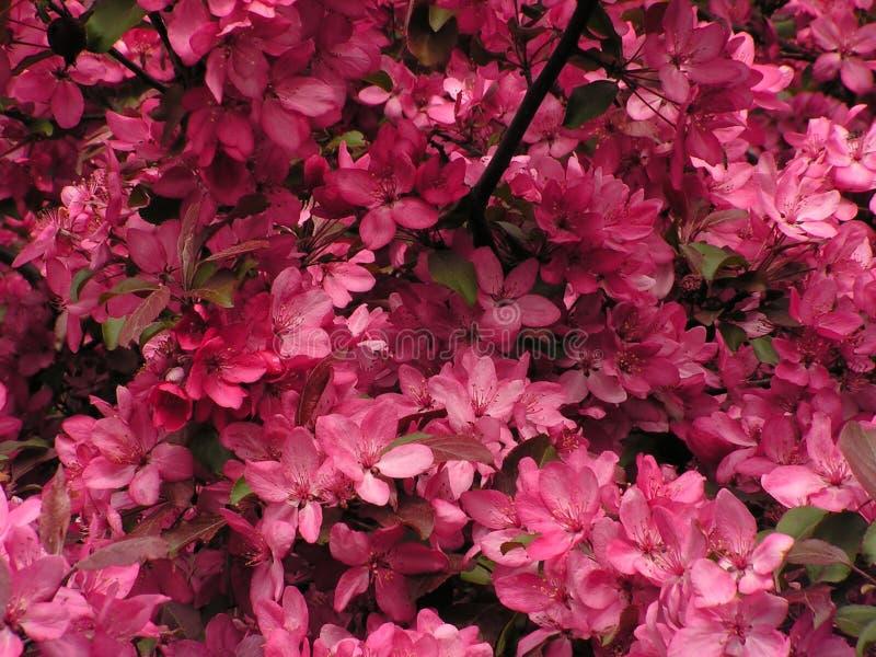 Plena floración del cerezo foto de archivo