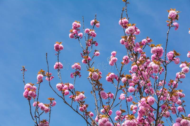 Plena floración del melocotón rosado fotografía de archivo