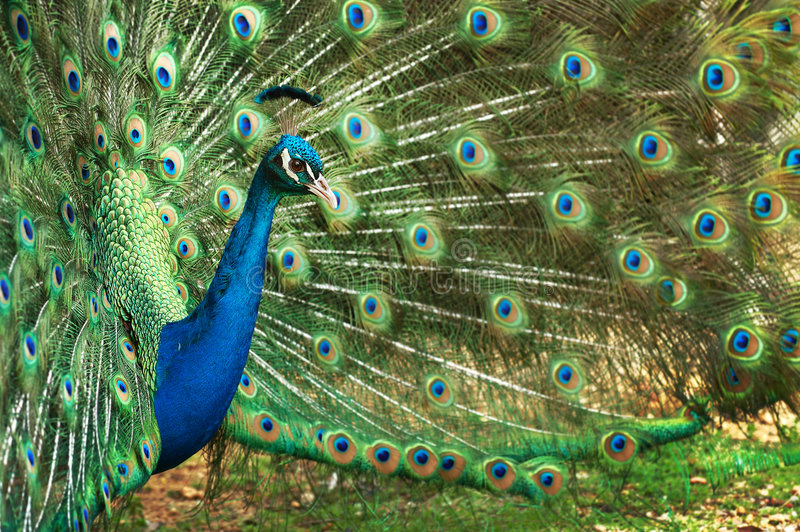 Plena floración del pavo real imagenes de archivo