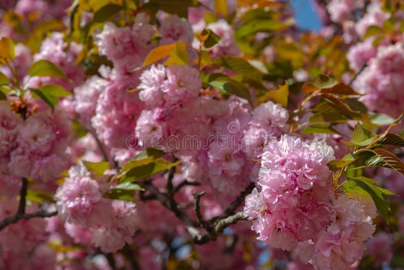 Plena floración hermosa de los árboles rosados púrpuras del flor de la glicinia y de las flores dobles de las flores de cerezo fotos de archivo