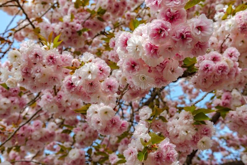 Plena floración hermosa de los árboles rosados púrpuras del flor de la glicinia y de las flores dobles de las flores de cerezo imagenes de archivo