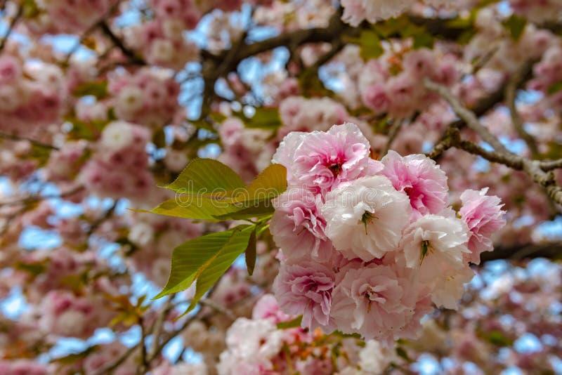 Plena floración hermosa de los árboles rosados púrpuras del flor de la glicinia y de las flores dobles de las flores de cerezo fotografía de archivo