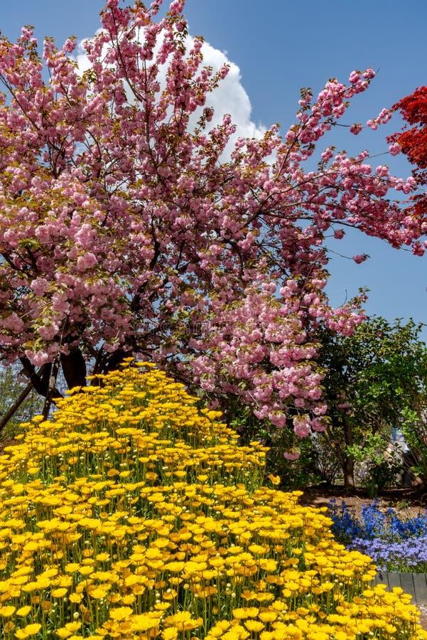 Plena floración hermosa de los árboles rosados púrpuras del flor de la glicinia y de las flores dobles de las flores de cerezo imagen de archivo