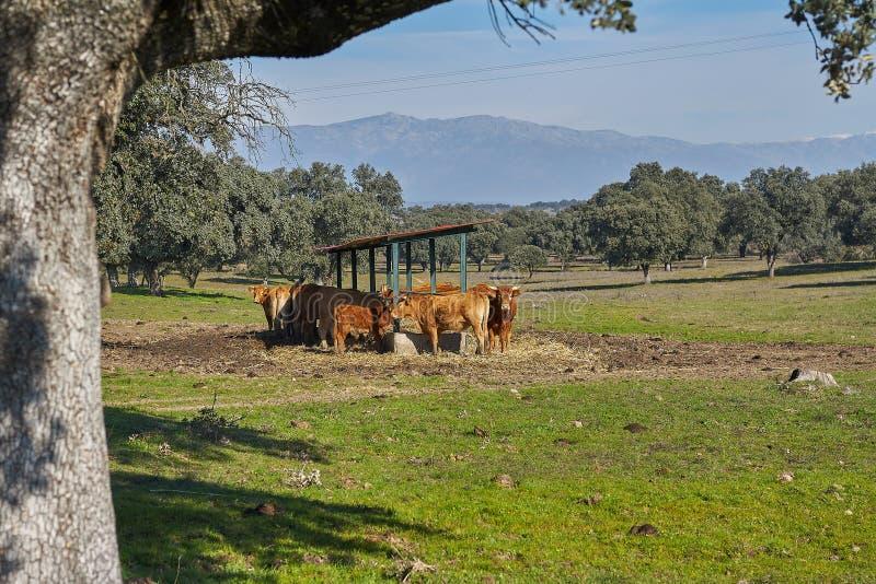 Plenerowy dozownik i widoki górscy brąz łydki i krowy obraz royalty free