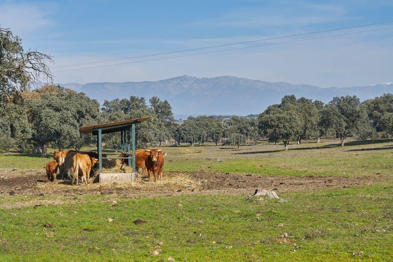 Plenerowy dozownik i widoki górscy brąz łydki i krowy obraz stock