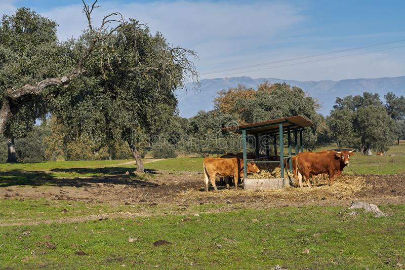 Plenerowy dozownik i widoki górscy brąz łydki i krowy obrazy stock