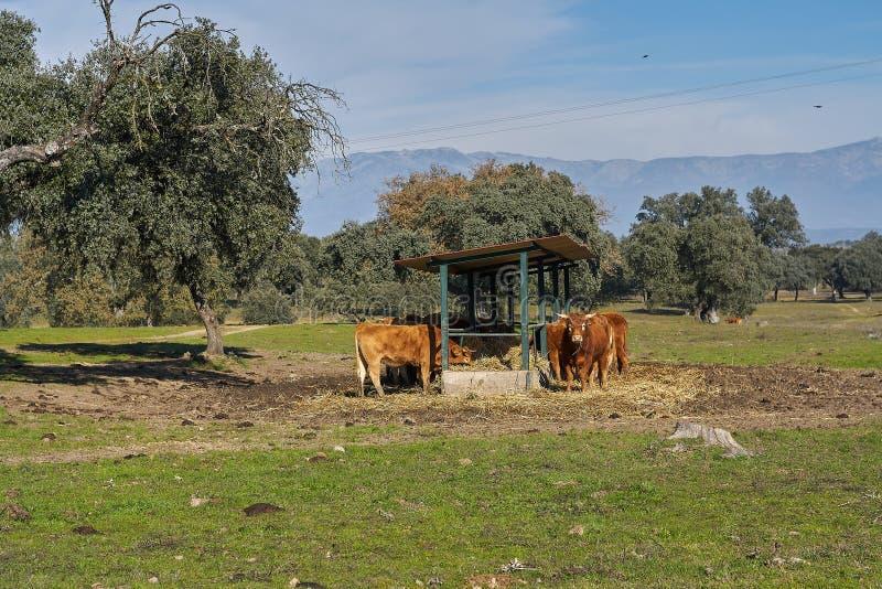 Plenerowy dozownik i widoki górscy brąz łydki i krowy zdjęcie royalty free