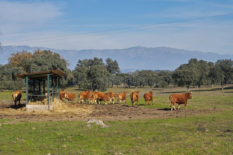 Plenerowy dozownik i widoki górscy brąz łydki i krowy fotografia stock