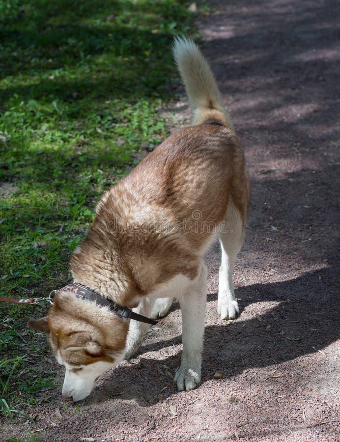 Plenerowy portret biały i brown Syberyjskiego husky pies obwąchuje ziemię, patrzejący dla coś, tropić lub tropić, zdjęcie stock