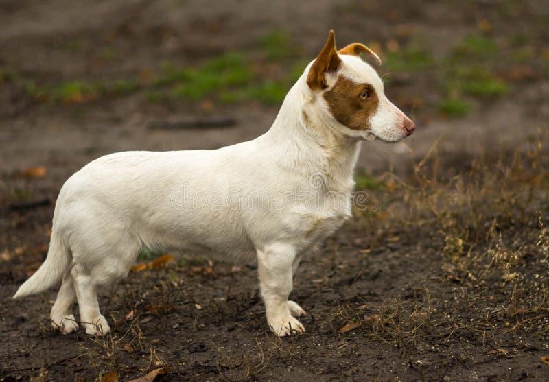 Plenerowy portret krępy krótkonogi pies obraz royalty free