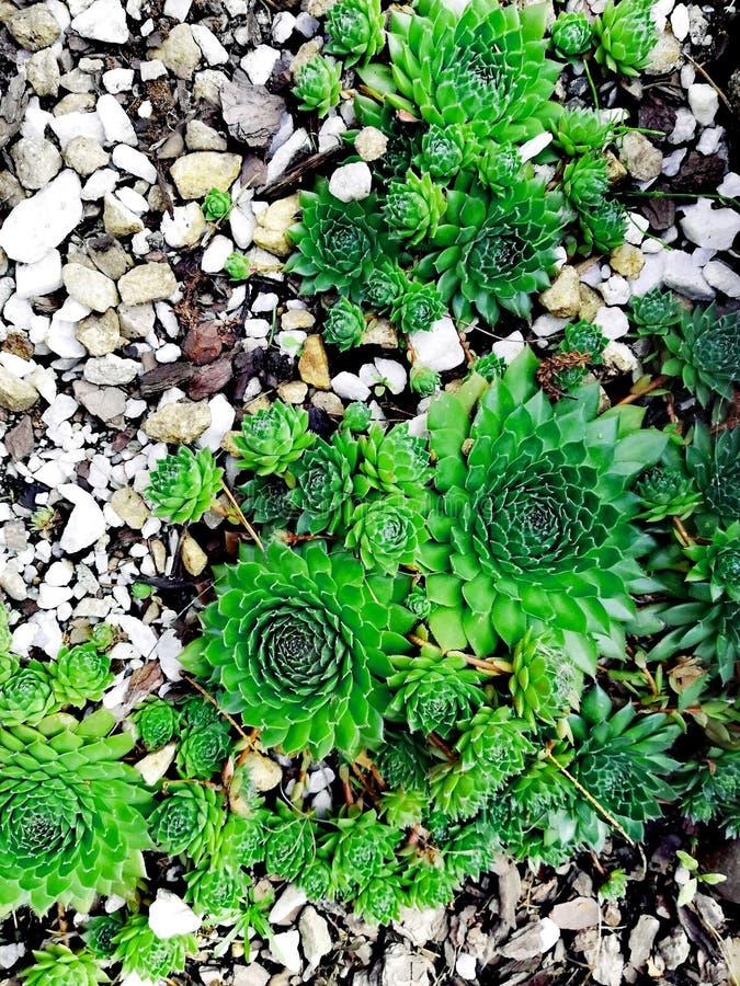 Plenerowy tłustoszowaty kaktus i ziele w skałach royalty ilustracja
