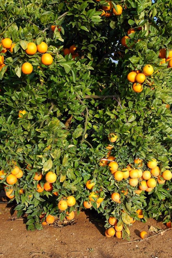 plenność udziałów pomarańcz drzewo zdjęcia stock