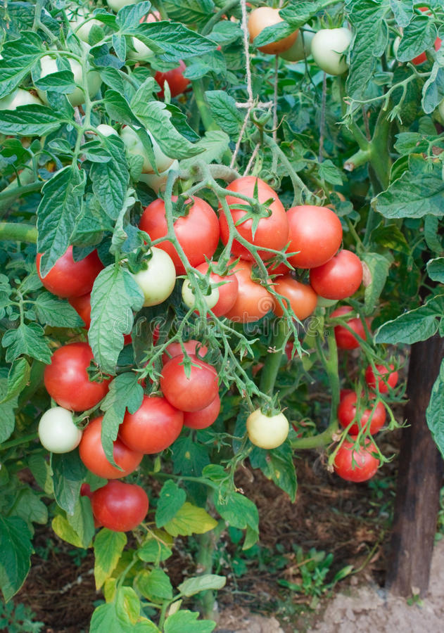 Plentiful Fructification Of Tomatoes Royalty Free Stock Images