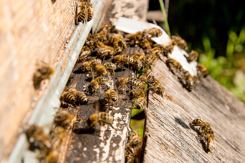 Plenty of bees at the entrance of beehive in apiary. Busy bees, close up view of the working bees stock images
