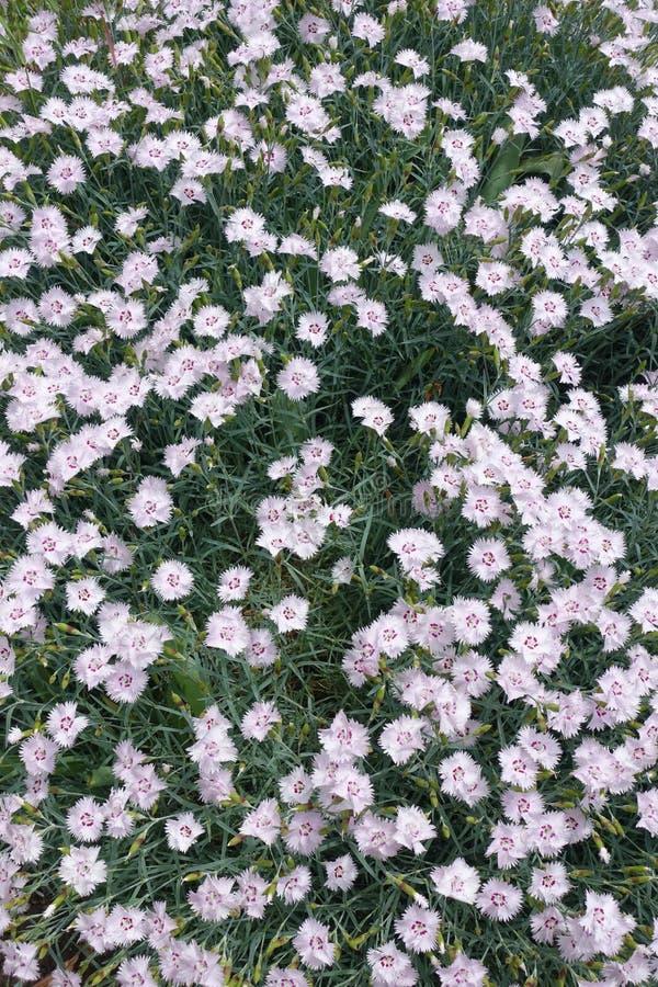 Plenty of pink flowers of dianthus. Plenty of pale pink flowers of dianthus royalty free stock photo