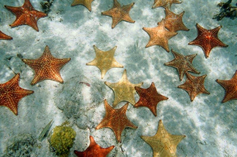Plenty of starfish on a sandy ocean floor. Plenty of cushion starfish on a sandy ocean floor, Atlantic, Bahamas islands royalty free stock photography