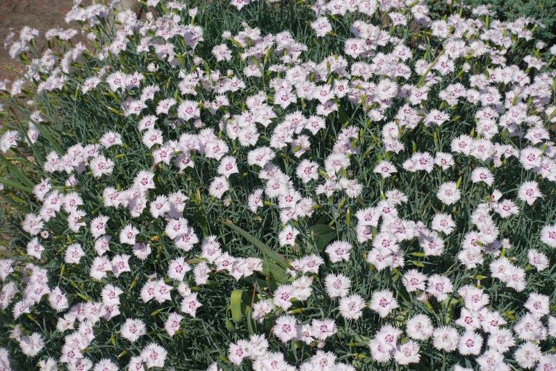 Plenty of white flowers of garden pink stock photo