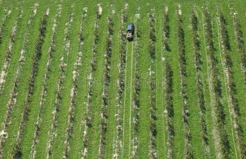 Green rows of grapevine under sun in Plesivica vineyard region, Croatia stock images
