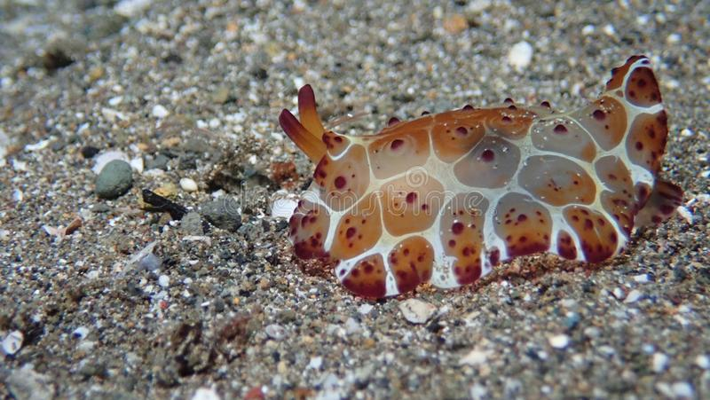 Pleurobranchus-grandis nudibranch auf schwarzem Sand in Anilao philippinisch stockfoto
