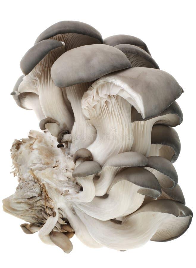 Free Pleurotus Mushroom Stock Image - 4671661