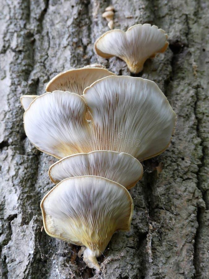 Pleurotus ostreatus, the pearl oyster mushroom or tree oyster mushroom on tree trunk royalty free stock photos