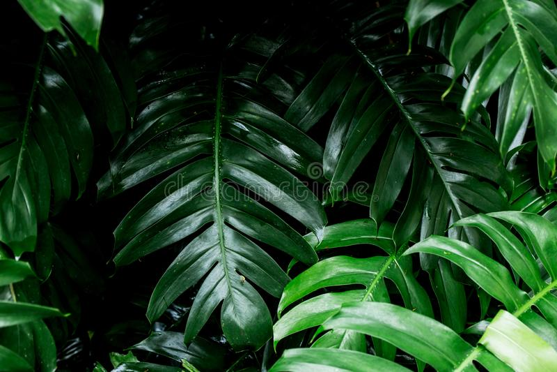 Pleuvoir humide de forêt tropicale de feuille tropicale de vert images libres de droits