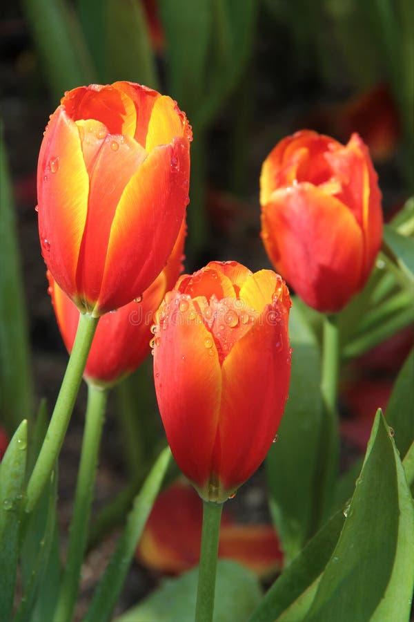 Pleuvoir les baisses sur les fleurs jaunes rouges de tulipe dans le jardin photographie stock libre de droits