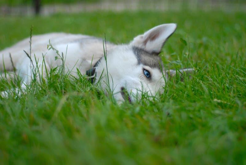 Plewa syberyjski pies obraz royalty free
