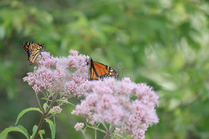 Plexippus Даная ` s бабочки монарха на фиолетовом цветке стоковая фотография rf