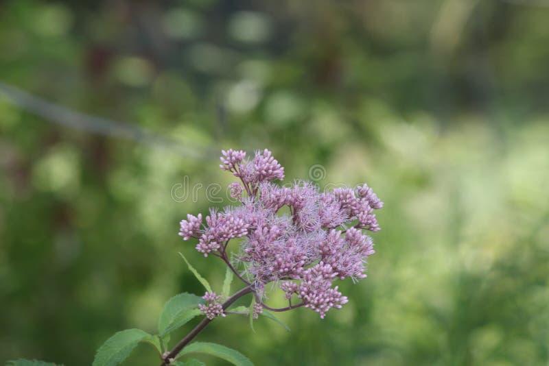 Plexippus Даная ` s бабочки монарха на фиолетовом цветке стоковые фотографии rf