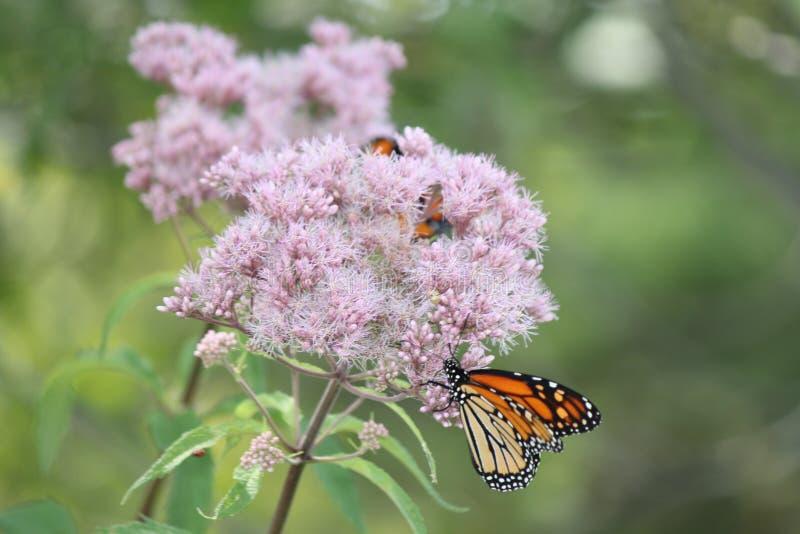 Plexippus Даная ` s бабочки монарха на фиолетовом цветке стоковое фото